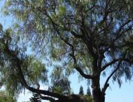 imagen Árboles: Aguaribay