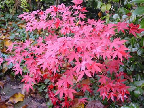 Rboles arce japon s for Piante classificazioni inferiori successive