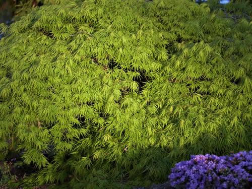 Rboles arce japon s for Arboles jardin japones