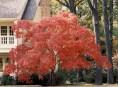 imagen Árboles: Arce Japonés