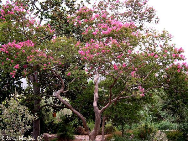 Rboles peque os el cresp n for Arboles pequenos para jardin