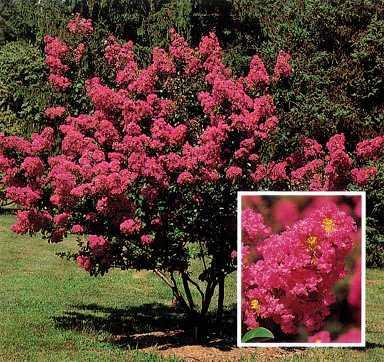 Rboles peque os el cresp n - Arboles para jardines pequenos ...