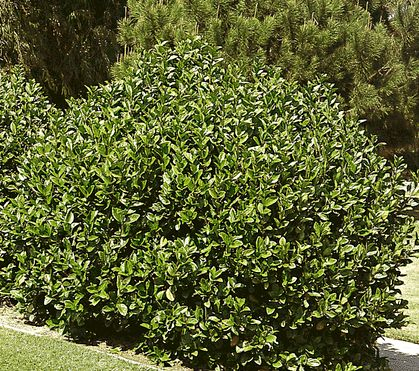 Arbustos Viburnum 2