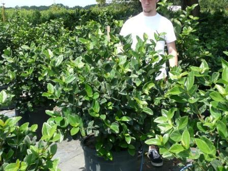 Arbustos Viburnum1