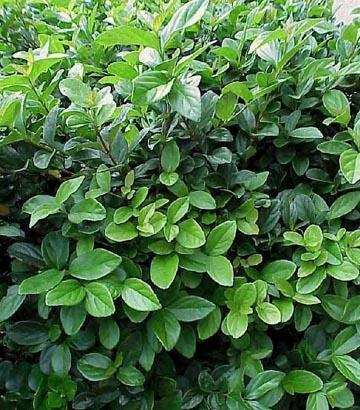 Arbustos Viburnum3
