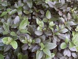 Arbustos Viburnum4