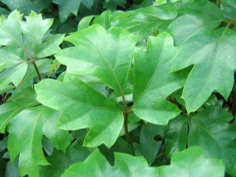 Plantas de interior Cissus1