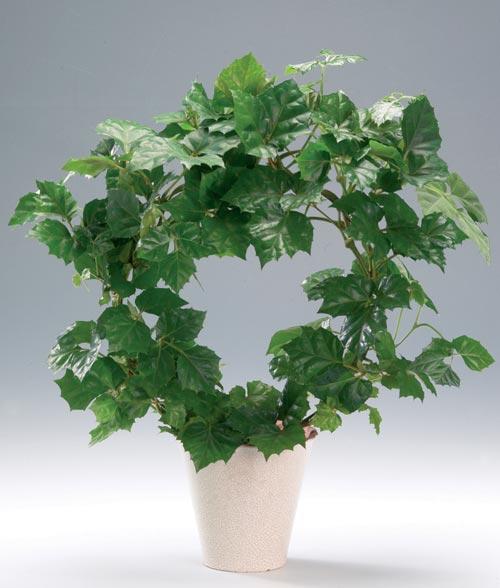Plantas de interior Cissus2