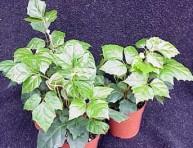 imagen Plantas de interior: Cissus