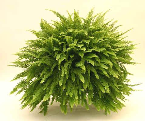 Plantas de interior el Helecho2
