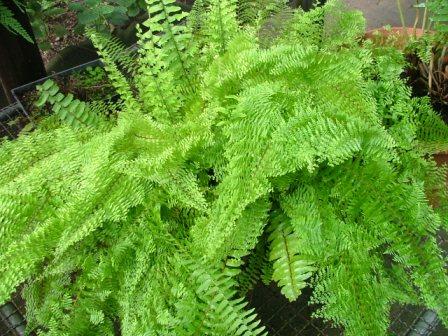 Plantas de interior el Helecho3