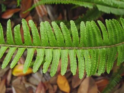 Plantas de interior el Helecho4