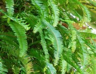 imagen Plantas de interior: el Helecho