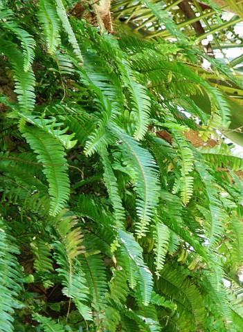 Plantas de interior el Helecho5