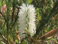 imagen Arbustos: la Melaleuca