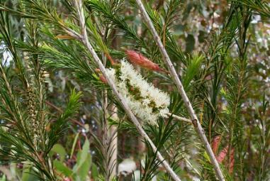 Arbustos la Melaleuca3