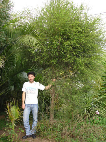 Arbustos la Melaleuca4