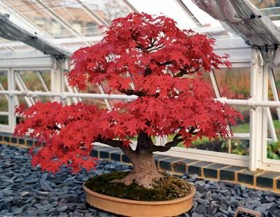 Lo que tienes que saber sobre el mantenimiento del bonsai