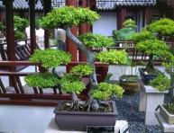 imagen Principales especies usadas para Bonsai