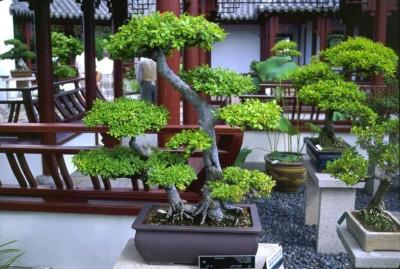 Principales especies usadas para Bonsai