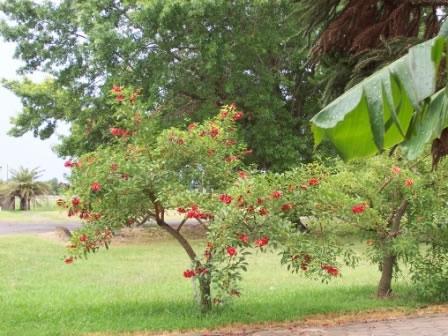 Árboles con flores_ el Ceibo-04