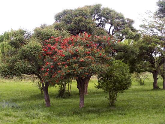 Árboles con flores_ el Ceibo-01