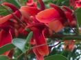 imagen Árboles con flores: el Ceibo