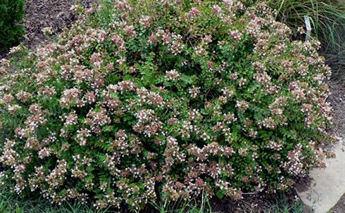 Arbustos con flor la Abelia