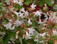 imagen Arbustos con flor: la Abelia