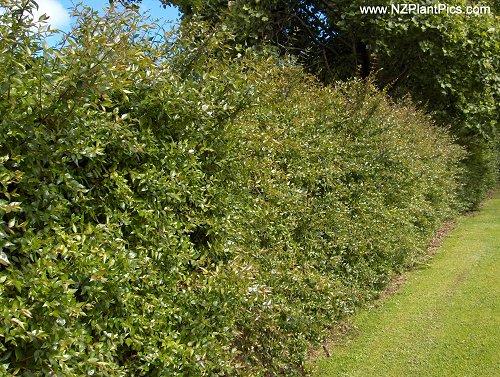 Arbustos con flor la Abelia3