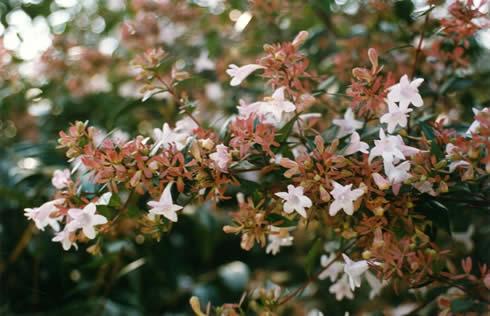 Arbustos con flor la Abelia4