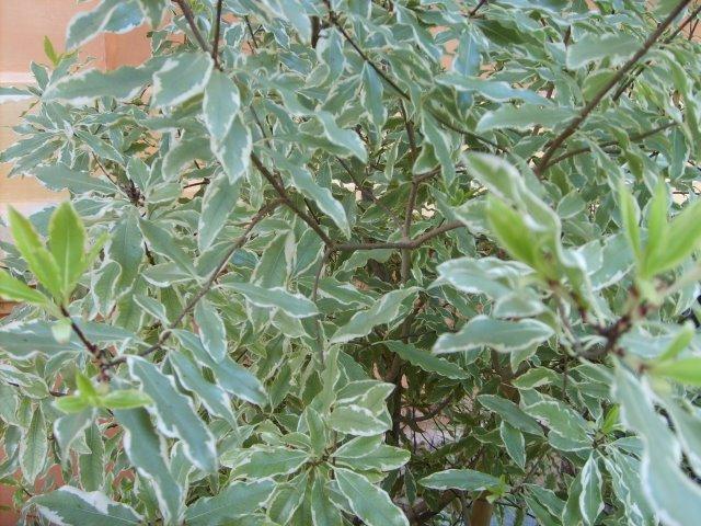 Arbustos el Pitosporum Maggi2