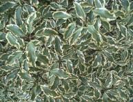 imagen Arbustos: el Pitosporum Maggi