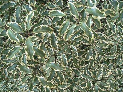 Arbustos el Pitosporum Maggii