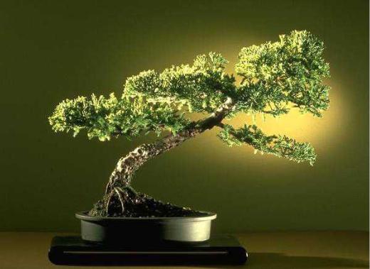 Bonsai su propagación por semillas