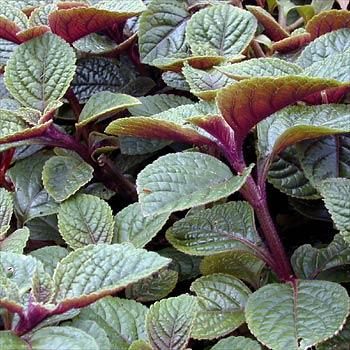 Cubresuelos Plectrantus1