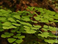 imagen Plantas de interior: Culandrillo