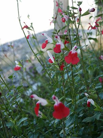 Plantas florales la Salvia Roja1