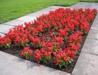 imagen Plantas florales: la Salvia Roja