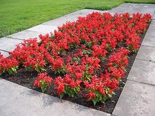 Plantas florales la Salvia Roja3