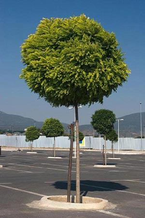 Arboles peque os acacia bola for Arboles de hoja perenne que crece rapido