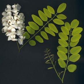 Arboles pequeños Acacia Bola5