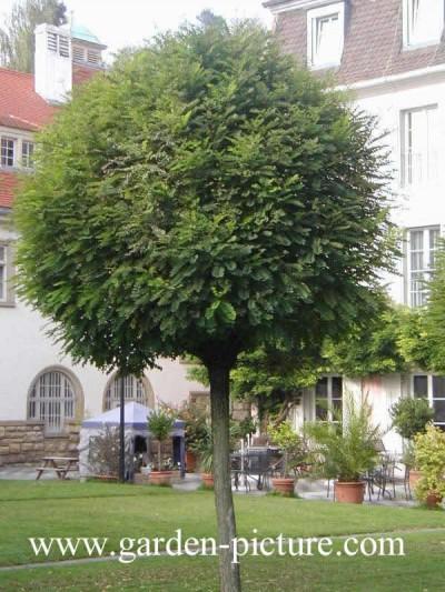 Arboles peque os acacia bola for Arboles para cierre de jardin