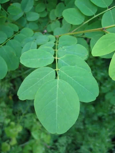 Arboles pequeños Acacia Bola4