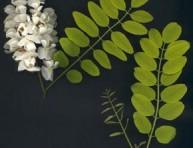imagen Arboles pequeños: Acacia Bola