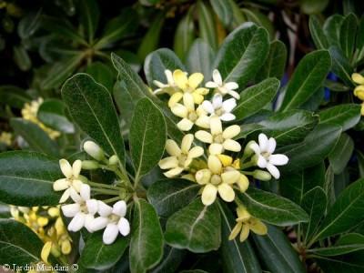 Arbustos perennes el Azarero1