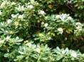imagen Arbustos perennes: el Azarero
