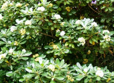 arbustos perennes el azarero