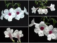 imagen Enredaderas: la Bignonia Blanca