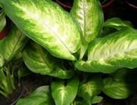 imagen Plantas de interior: la Difenbaquia